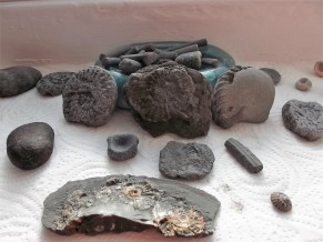 Our haul, with belemnites at back, ammonites center. Ichthyosaur vertebrae is the round one, middle left.