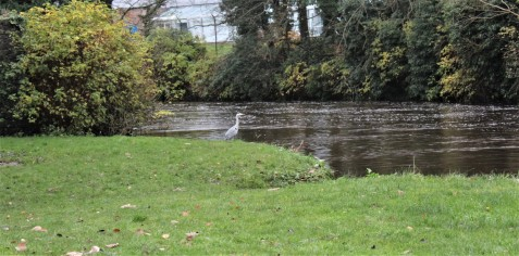 Heron takes a pause at the river's edge.